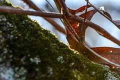 Mossy Incline (LauraJSwindle) Tags: trees leaves twigs moss mossy nature nikond7100 85mm plants foliage botanical macro macrophotography nikon bokeh wantagh ny usa belmontstatepark newyork longisland