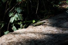Lucertola 2 (Fabrizio Colucci) Tags: lucertola nature reptile tronco bosco green verde rettile colours mimetismo mimetism pelle skin muta light ombra