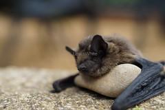 Bat (3) (LewisWhitePhotos) Tags: bat photo photography dead macro upclose shoot animal fur outdoors