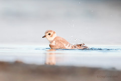 Juvenile Piping Plover (Greg Gard) Tags: 1dxii 600mm greggard gregorygard pipl bath beach behavior bird birdphotography birding canon greggardcom juvenile lido lidobeach longisland nature nickerson nickersonbeach ny pipingplover shorebirds wildlife young endangered protected threatened species charadriusmelodus