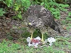 Teen hawk dines on elder (Jeff Stetson) Tags: hawk feeding cannibalism broadwinghawk