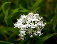 Fleur d'oignon ( allium cepa ) (valerierodriguez1) Tags: oignon fleur macro blanc t printemps summer spring white flower outside extrieur nature
