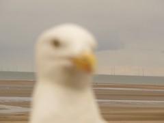 Unfocused (katieblakemore) Tags: closeup up close sand windpower power wind blurred blur bird seagull sea unfocused