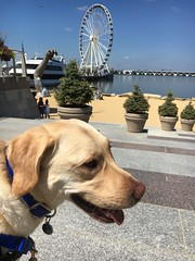 Calvin visits the National Harbor for the first time (hero dogs) Tags: dog labrador cute therapydog servicedog