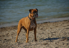 Concentration (Katrina Wright) Tags: dog doggybeach sand beach canine play sandy dsc3015 boxer tongue