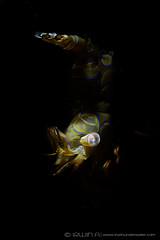 S N O O T (irwinunderwater) Tags: irwinunderwater irwinang irwinfansclub underwaterphotography scubadiving photooftheday iamnikon nikonasia underwater uwphoto natgeo shrimp picoftheday ocean macro snoot sealife scuba indonesia juvenile crustacean maumere 水下摄影 海底世界 padi marinelife scubalife divelife greatshot lighting