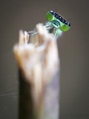 Alo! (Jordixot) Tags: macro macrophotography green dragonfly spider nature naturaleza
