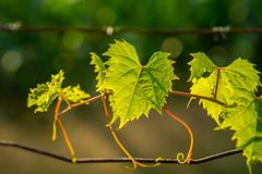 silent advance (muskokaTIMe) Tags: vine fence wire barbwire bokeh fencedfridays green