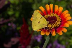 IMG_7837a (judyflo1) Tags: garden latesummer flowers butterfly cloudless sulphur