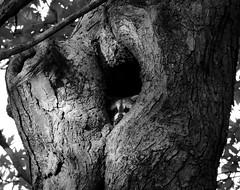 Peekaboo I See You BW (Jade Chanoquaway) Tags: blackandwhite bw contrast nikon nikkor d5500 animal animals raccoon tree trees shadow light nature shadows bark branches canada ontario black white grey gray grayscale greyscale monochrome silhouette cans2s animalplanet