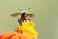 5Q7A1577 (smo2000) Tags: bumble bee yellow pollenator mexican sunflower tithonia proboscis macro close up depth field kansas summer canon 7d mk ii