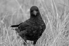 untitled (robwiddowson) Tags: crow corvid bird birds nature natural wildife animal animals robertwiddowson blackandwhite photo photograph photography image picture