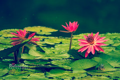 Water lilies.. and a friend (BlueLunarRose) Tags: lily water waterlily pond garden pink green botanic reflection frog animal nature sonyalphadslra200 sal75300 bluelunarrose