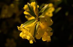 Golden Trumpet Vine (Merrillie) Tags: athome woywoy nikon flowers nature australia goldentrumpet d5500 nswcentralcoast newsouthwales nsw centralcoastnsw photography yellow centralcoast petals goldentrumpetvine