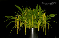 Dendrochilum magnum CCE/AOS (Orchidelique) Tags: nature plant flower exotic orchid species dendrochilum ddc magnum cce aos ncjc 20161154