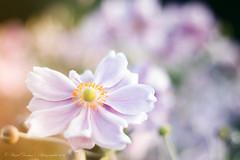 Sunset light on flowers (Pascal Dentan) Tags: 1 haveaniceday flower fleur sunset light bokeh great magical awesome