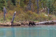 Searching the Salmon - Lake Clark National Park (Captures.ch) Tags: 2016 alaska animal black blue brown brownbear crescent crescentlake fall gras gray green grizzly grizzlybear highadventureaircharter kenai lake lakeclarknationalpark lookbacklakeclarknationalpark mosquitos nationalpark nature orange red september soldotna travel trees usa violet water white
