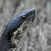 Cottonmouth (1 of 1)-Edit.jpg