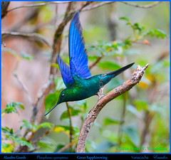 5, 4, 3, 2, 1, LIFTOFF: GREAT SAPPHIREWING MALE Pterophanes cyanopterus at Yanacocha in Northern ECUADOR. Hummingbird Photo by Peter Wendelken. (Neotropical Pete) Tags: greatsapphirewing greatsapphirewingmale greatsapphirewinginecuador greatsapphirewinghummingbird greatsapphirewingflying alizafirogrande pterophanescyanopterus pterophanes colibri hummingbird picaflor chupaflor trochilidae ecuadorhummingbirds southamericanhummingbirds ecuadorbirds southamericanbirds neotropicalbirds andeanhummingbirds yanacochahummingbirds yanacochareserve reservayanacocha volcnpichincha pichinchaprovince quito ecuador hummingbirdphotobypeterwendelken peterwendelken ngc