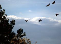 Cherry Creek State Park Pelicans (patporzelt) Tags: fall colors cherry creek state park pelicans birds