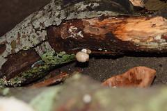 DSC_0249 (Luciano Felipe) Tags: fungo cogumelo fungus mushroom