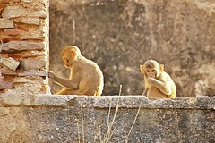 Bundi_monkeys 59 (peteypistolero) Tags: travel india nature wildlife monkeys rajasthan macaques bundi travelphotography travelphotos langurs peteypistolero canonrebelt2i peteschnell