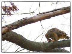 ...Eating (RKop) Tags: birds stlouis missouri greathornedowl sonydslr a550 70400gssm slta77 slta77v 2013nestingseason raphaelkopanphotography