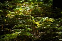 Highlight (Future-Echoes) Tags: light green nature woodland dof bokeh depthoffield shade ferns highlight