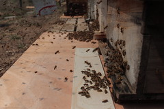 IMG_0086 (urban bees seoul) Tags: urban bees honey seoul beehive  beekeeper