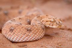 Horned Adder ([[BIOSPHERE]]) Tags: southafrica reptile snake kalahari hornedadder