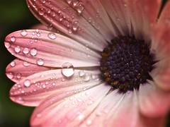 blush (Kazooze) Tags: flower petals raindrops osteospermum srj fantasticflower diamondclassphotographer flickrdiamond raindropphotography hennysgardens 2013 raindropphotographybysuzierose
