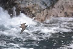 Black Noddy in flight (jonasflanken) Tags: park black bird animal hawaii waianapanapa state flight maui hana tern seabird noddy birdinflight in waianapanapastatepark eastmaui blacknoddy