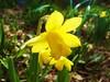 Daffodil (Owen H R) Tags: flower macro yellow garden dof bokeh daffodil owenhr