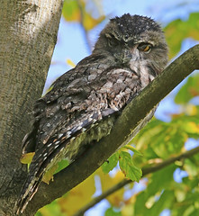 Tawny Frogmouth : Just blinking . . . (Clement Tang ** Busy **) Tags: autumn nature female afternoon bokeh wildlife australia victoria camouflage backlit avian hawthorn nationalgeographic birdwatcher macrophotography tawnyfrogmouth yelloweye podargusstrigoides closetonature eyeblink concordians