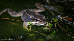 Wood Frog (Rana sylvatica) - floating on surface (DaveHuth) Tags: ny amphibian frog houghton animalia vernalpool sylvatica anura amphibia ranidae woodfrog chordata ranasylvatica athleticfield lithobates taxonomy:class=amphibia taxonomy:order=anura taxonomy:family=ranidae taxonomy:kingdom=animalia taxonomy:phylum=chordata lithobatessylvaticus taxonomy:species=sylvaticus taxonomy:binomial=ranasylvatica taxonomy:binomial=lithobatessylvaticus taxonomy:genus=lithobates taxonomy:common=woodfrog