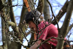 Darling Buds of May (April) (Livesurfcams) Tags: nikon devon buds v1 arborist stihl treesurgeon copperbeachtree