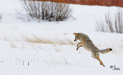 The Coyote Jump, Pounce and Prize - 2525b (teagden) Tags: coyote park winter mouse photography spring jump jumping nikon action eating wildlife hunting eat national yellowstonenationalpark catch yellowstone prize prey vole pounce hunt ynp pouncing yellowstonepark wildlifephotography catchingprey 2013 jenniferhall pouncingcoyote huntingcoyote