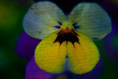 Viola Letter (Martina Morris ( Ireland) Thanks for over1,000,000) Tags: blue ireland orange flower macro green nature yellow garden spring purple pansy images lilac cannon viola boyle gardencenter flowerscloseup coroscommon boylecameraclub martinamorris