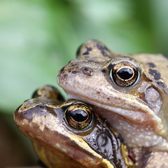 spring-couple (bugman11) Tags: macro nature animal animals fauna canon spring nederland thenetherlands amphibian frog frogs amphibians 1001nights greatphotographers thegalaxy flickraward platinumheartaward gnneniyisithebestofday 100mm28lmacro 1001nightsmagiccity mygearandme mygearandmepremium mygearandmebronze mygearandmesilver mygearandmegold mygearandmeplatinum mygearandmediamond photographyforrecreation allnaturesparadise ruby10 ruby15 rememberthatmomentlevel1 rememberthatmomentlevel2 ruby20 infinitexposure rubyawardsinvitation