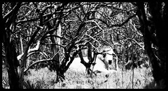 Hidden in the Grove (BethHarcek - Back on Track) Tags: canon cattle cows florida farming pastures ranching orchards rebelt3i