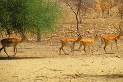 Mehrano Wildlife Refuge, Kot Diji, Khairpur Mir's (Mirjee ....) Tags: pakistan sind sindh sukkur khairpurmirs mirjee mehranowildliferefuge