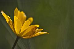 Anemone palmata (No meu pequeno mundo aqui em baixo) Tags: flowerthequietbeauty
