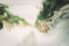 (The Paper Crane) Tags: cute japan strawberry strawberries fukuoka ichigo  strawberrypicking