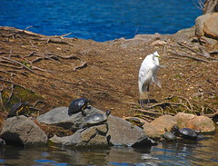 Sunbathing by the Pond! (ineedathis) Tags: easterngreategret egret heron emydidae redearedslider turtle avian animal pond park water spring nature nikond80 heckscherpark longisland newyork rocks roots tortoises hff