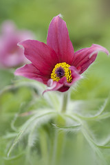 Red Pasque (Jacky Parker Floral Art) Tags: red portrait plant flower macro art nature floral vertical closeup garden one spring flora creative alpine single bloom flowering softfocus format orientation pasque perennial rubra vulgaris pulsatilla kuhschelle