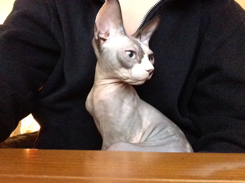 The World's Best Photos of ears and sphynx - Flickr Hive Mind