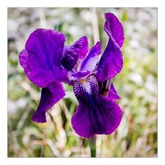 Iris sauvage (Gabi Monnier) Tags: iris france fleur canon rando violet jour provence cassis printemps colline calanques provencealpesctedazur exterieur canoneos600d gabimonnier