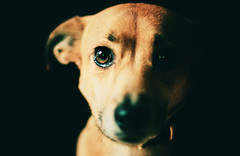 danny baby (sommerpfuetze) Tags: portrait dog chien baby brown face animal nose 50mm eyes gesicht hund soul danny braun augen littledog nase petrait ldlportraits