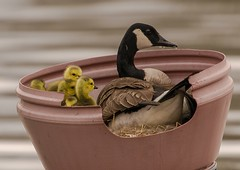 A Long Day (snooker2009) Tags: baby bird nature birds outdoors spring babies nest wildlife small goose goslings getty gosling thewonderfulworldofbirds dailynaturetnc12 photoofthedaynwf12