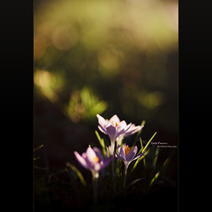 Sunlit Crocuses (Dkillock) Tags: flowers david nature beautiful canon eos prime spring dof open bokeh mark magic iii blossoms wide crocus full frame 5d f2 usm blooms fullframe ef 135mm crocuses wideopen mkiii llens canonef135mmf2lusm killock 5dmkiii 5d3 5dmarkiii magicprime dkillock davidkillockphotography